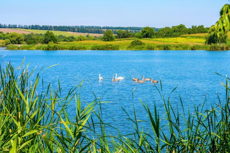 Foto de cisnes en el lago azul hermoso imagenes de archivo