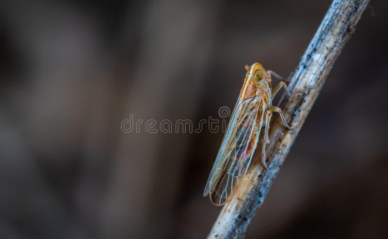 Foto de Closeup de Brown e Gray Cicada em Twig imagem de stock