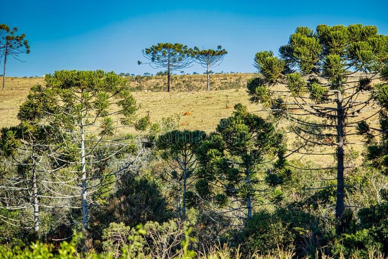 Foto de dos árboles de la araucaria encima de la colina vista entre las coronas de otros araucarias imagen de archivo libre de regalías