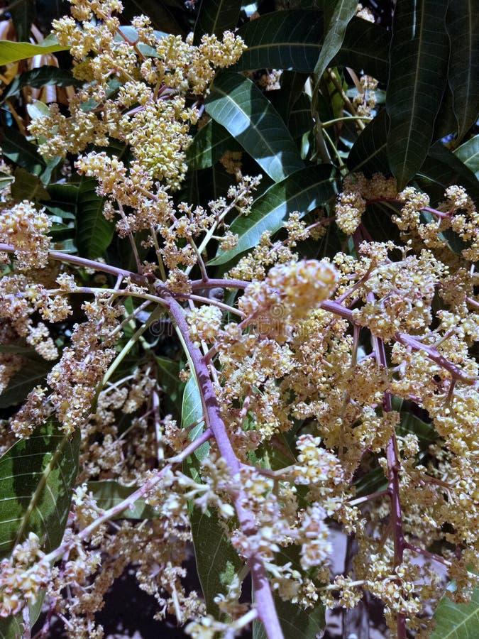 Foto de florecimiento hermosa del árbol de mango foto de archivo libre de regalías