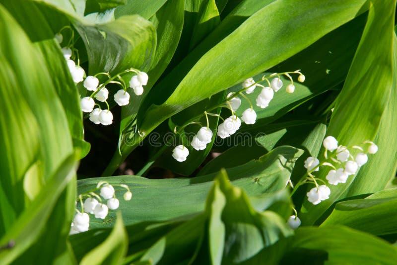 Foto de flores da floresta bracelets Lírio do imagem de stock royalty free