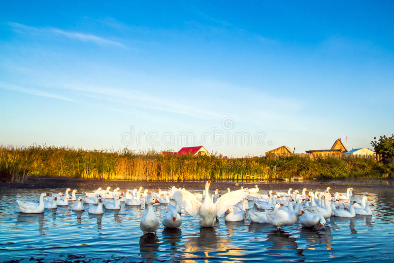 Foto de gansos en el pueblo imagen de archivo