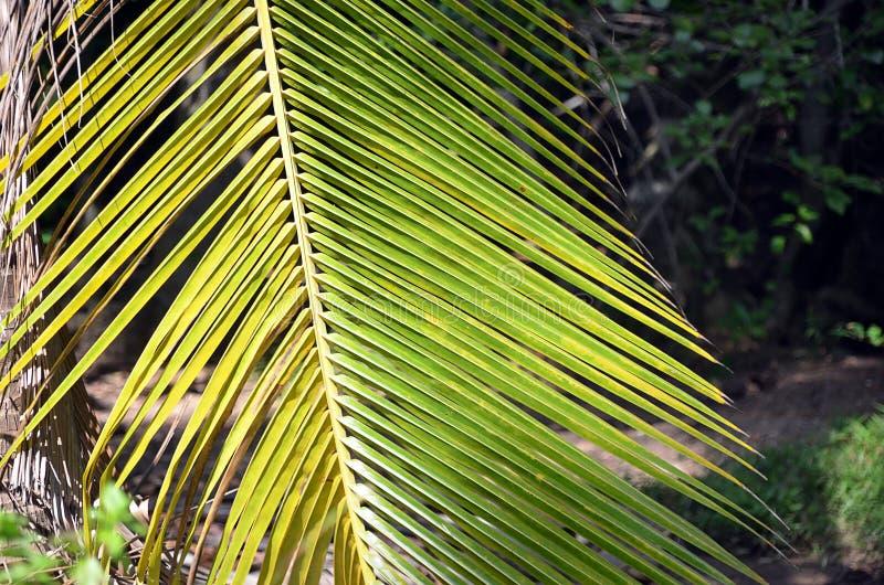 Foto de hoja de palma grande verde del detalle en verano imagen de archivo libre de regalías