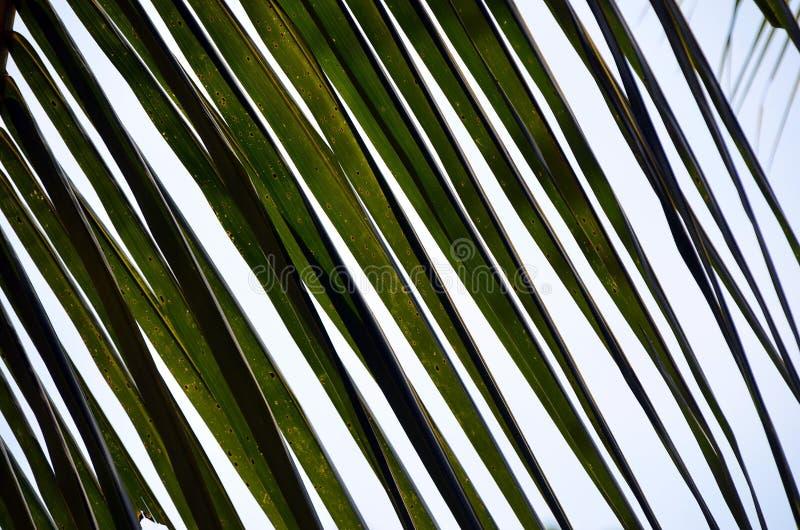 Foto de hoja de palma grande verde del detalle y cielo azul fotografía de archivo libre de regalías