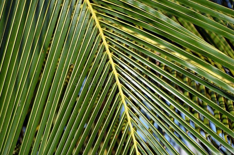 Foto de hoja de palma grande y verde del detalle fotografía de archivo libre de regalías