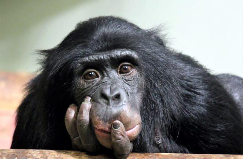 Foto de la acción de la troglodita de la cacerola del chimpancé del chimpancé imagen de archivo