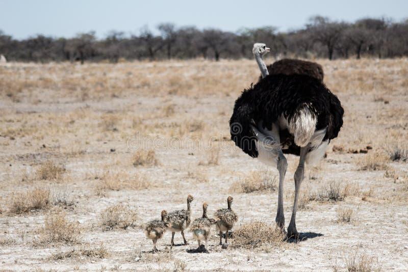 Foto de la fauna de una familia de la avestruz imagenes de archivo