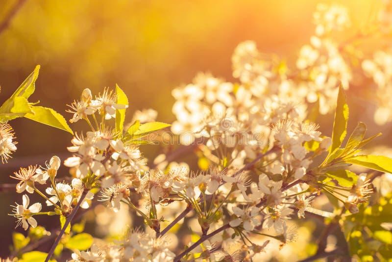 Foto de la flor de cerezo hermosa, fondo natural abstracto, bella arte, estación del tiempo de primavera, manzana que florece en  imagen de archivo