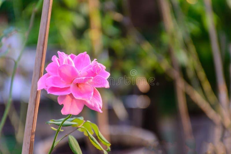 Foto de la flor color de rosa hermosa foto de archivo libre de regalías