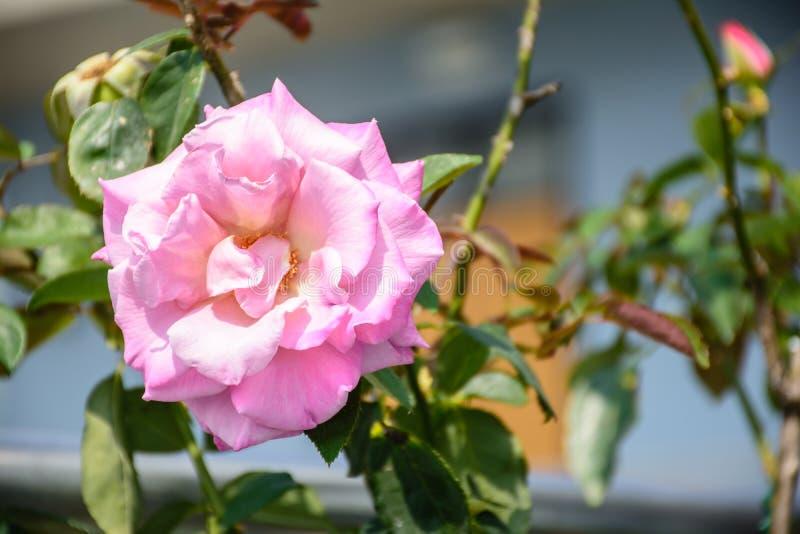 Foto de la flor color de rosa hermosa fotos de archivo
