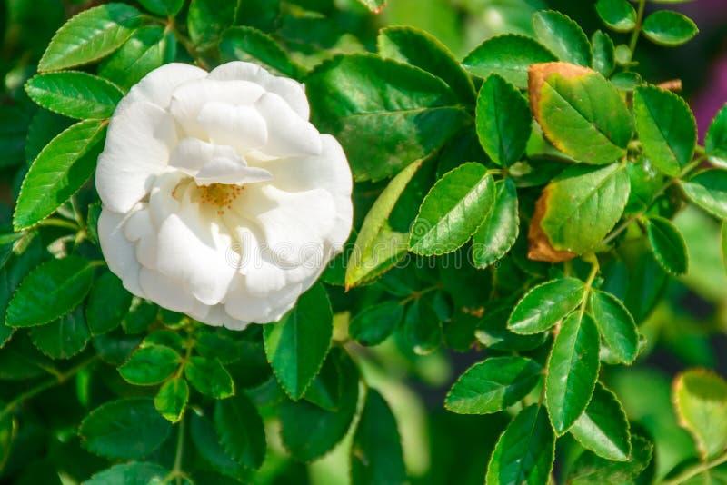 Foto de la flor color de rosa hermosa imagen de archivo