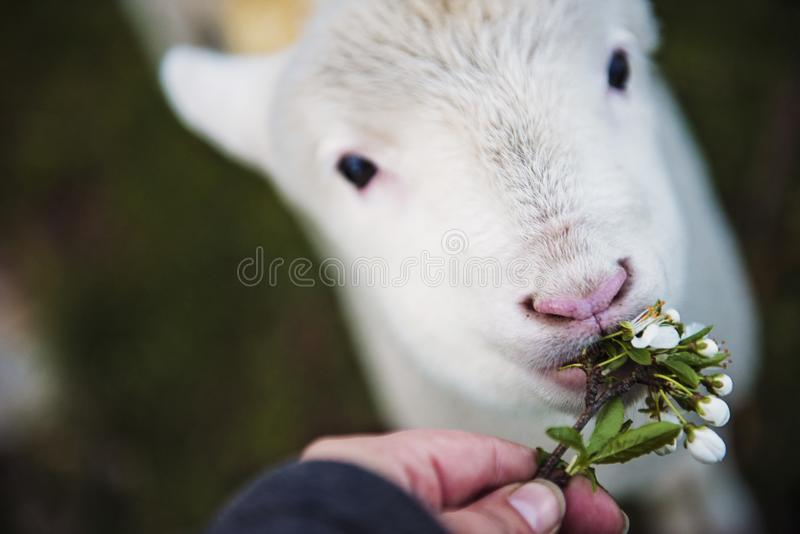 Foto de la flor de la tenencia de la persona que come el animal blanco fotos de archivo