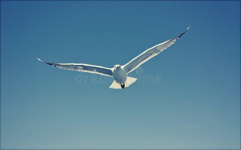 Foto de la gaviota del vuelo foto de archivo libre de regalías