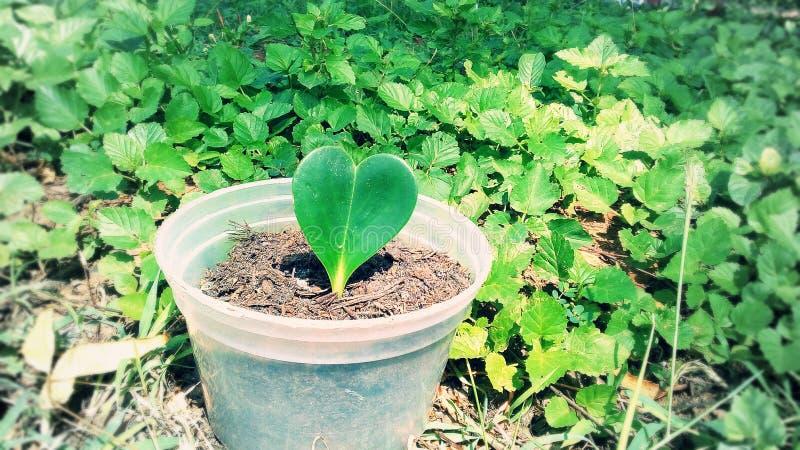 Foto de la hoja del corazón fotos de archivo libres de regalías