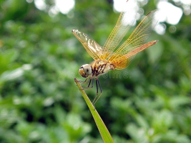 Foto de la libélula imagen de archivo libre de regalías