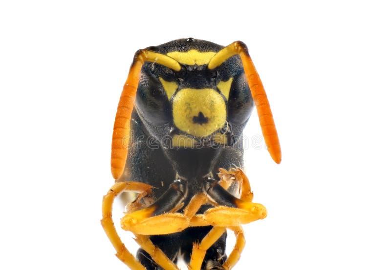 Foto de la macro del insecto de la avispa foto de archivo