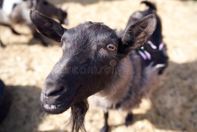 Foto de la opinión superior una cabra linda con los oídos y la barba grandes La cabra curiosa mira en la lente de cámara imagen de archivo