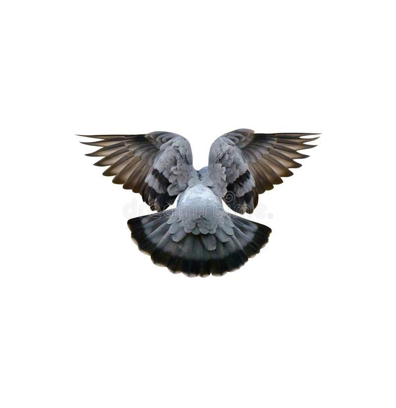 Foto de la paloma azul en invierno, primer, aislado en el fondo blanco foto de archivo libre de regalías