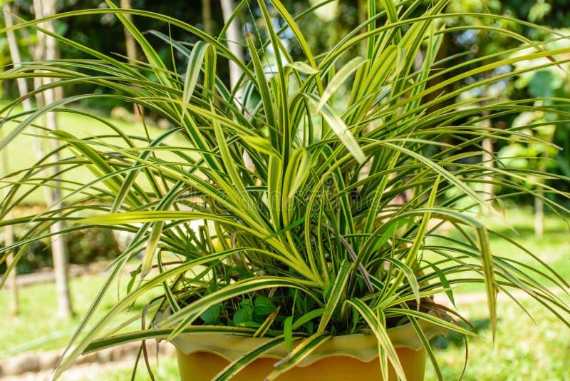 Foto de la planta hermosa del croton fotos de archivo