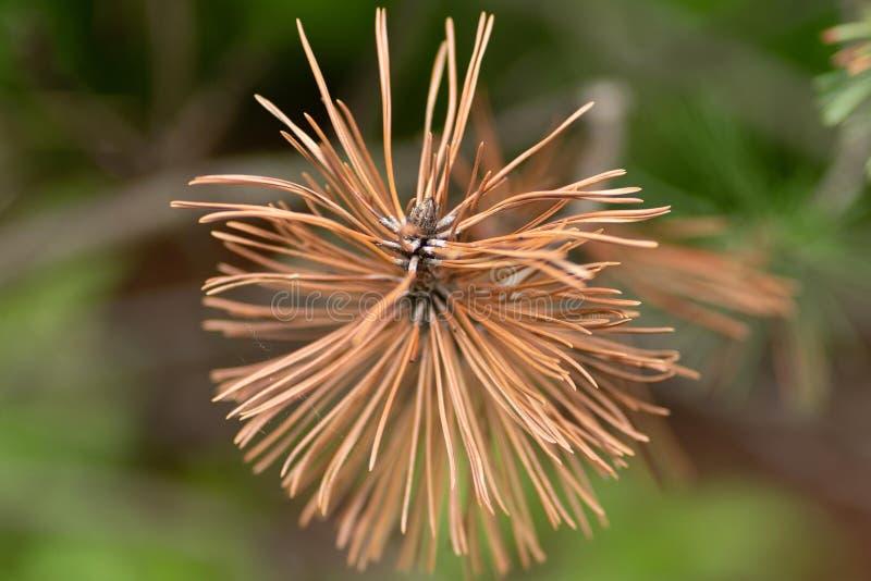 Foto de la rama ascendente secada del pino en cierre para arriba fotos de archivo