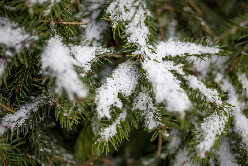 Foto de la rama de árbol de abeto cubierta por la nieve imágenes de archivo libres de regalías