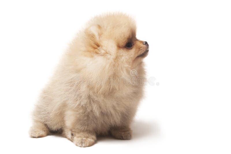 Foto de la sentada del perro del perro de Pomerania aislada en el fondo blanco fotografía de archivo