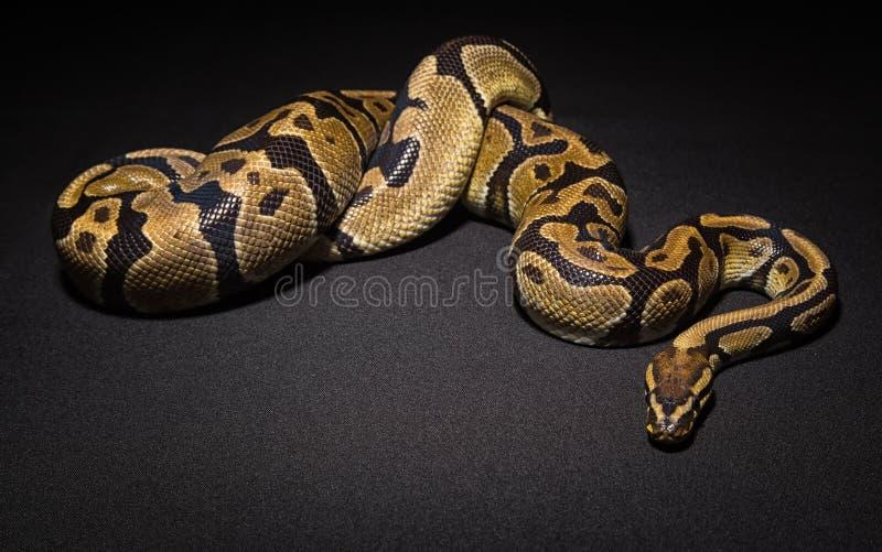 Foto de la serpiente marrón del animal doméstico imágenes de archivo libres de regalías
