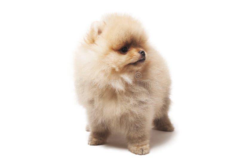 Foto de la situación del perro del perro de Pomerania aislada en el fondo blanco fotografía de archivo libre de regalías