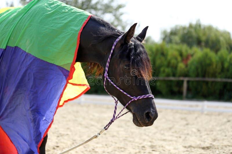 Foto de la vista lateral de una yegua pacífica joven durante el entrenamiento debajo de una manta de caballo colorida a estrenar fotografía de archivo libre de regalías