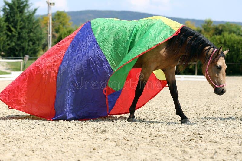 Foto de la vista lateral de una yegua pacífica joven durante el entrenamiento debajo de una manta de caballo colorida a estrenar fotos de archivo libres de regalías