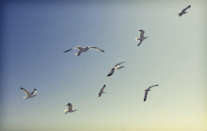 Foto de las gaviotas del vuelo imagen de archivo