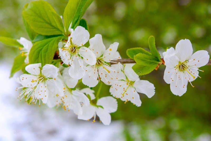 Foto de las ramas florecientes del manzano contra los árboles imagenes de archivo