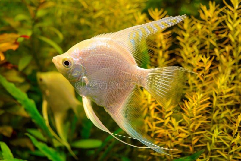 Foto de los pescados blancos del acuario en fondo natural verde foto de archivo libre de regalías