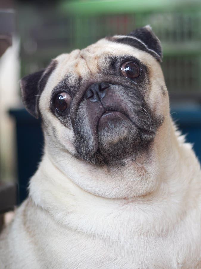 Foto de los retratos de un perro lindo gordo blanco precioso del barro amasado imagen de archivo libre de regalías