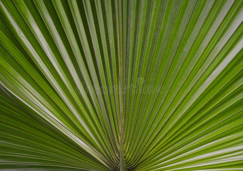Foto de Palma Foto em folha de palmeira Uma folha de palmeira é uma textura Contexto da palma textura da folha do verde da palma  imagens de stock royalty free