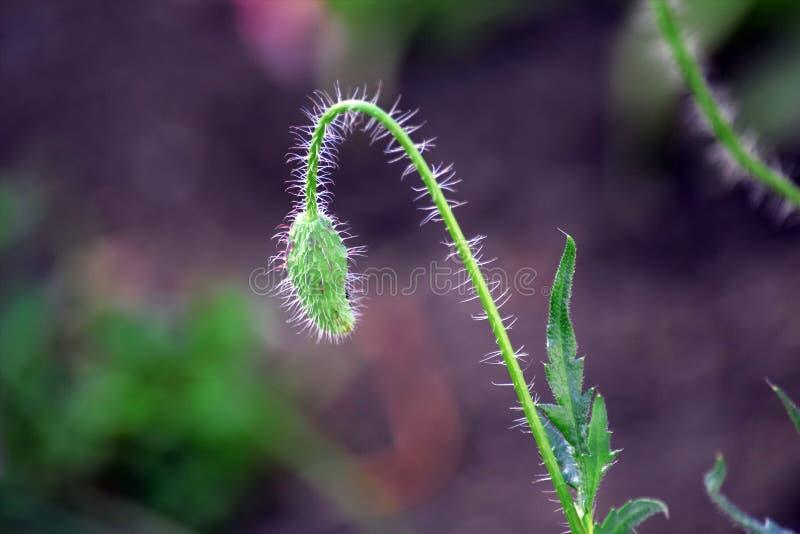 Foto de Poppy Bloom Scenic Stock Background imagem de stock royalty free
