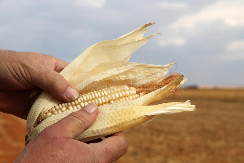 Foto de um fazendeiro que guarda uma milho-espiga seca foto de stock
