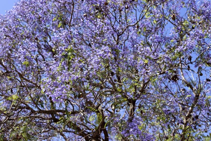 Foto de uma árvore com flores roxas fotografia de stock