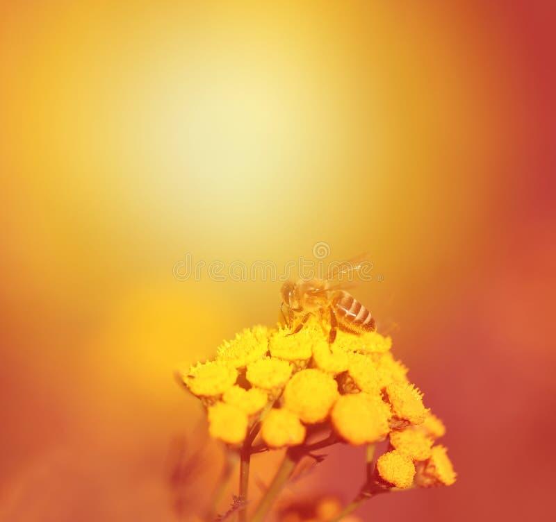 Foto de uma abelha macro foto de stock