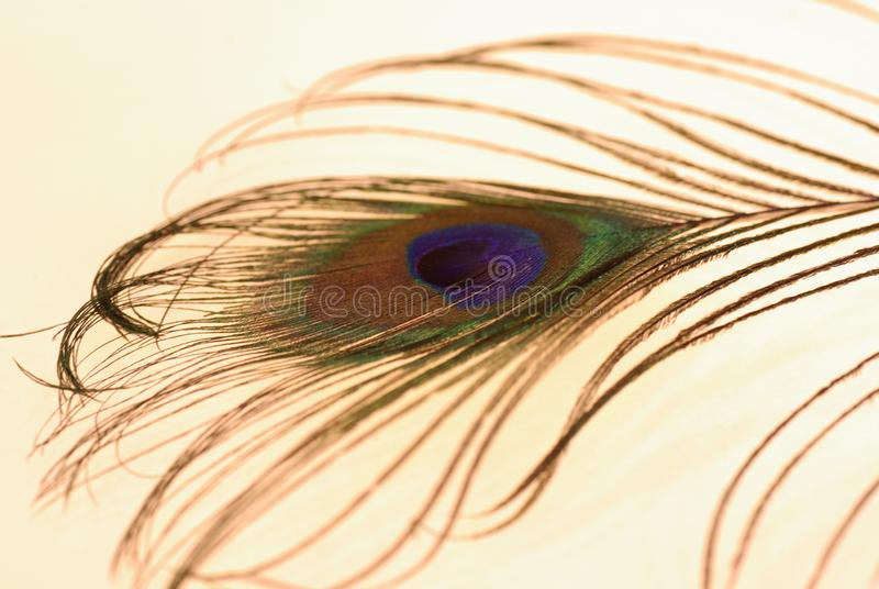 Foto de uma pena do pavão em um fundo claro imagem de stock royalty free