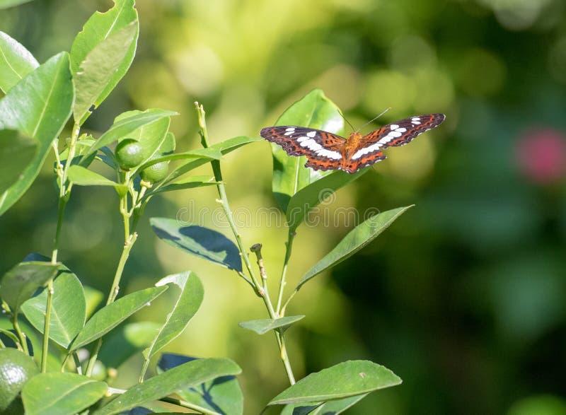 Foto de un almirante blanco eurasiático Butterfly foto de archivo libre de regalías