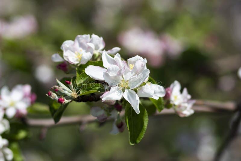 Foto de un manzano floreciente fotografía de archivo