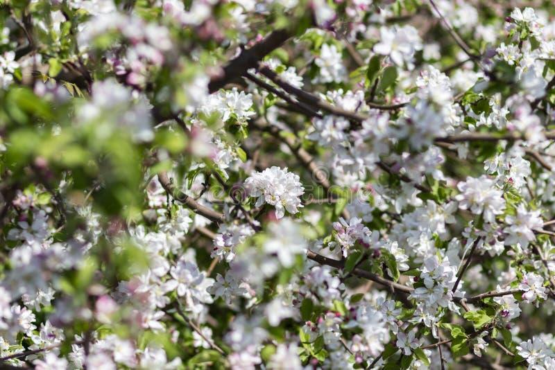 Foto de un manzano floreciente foto de archivo libre de regalías