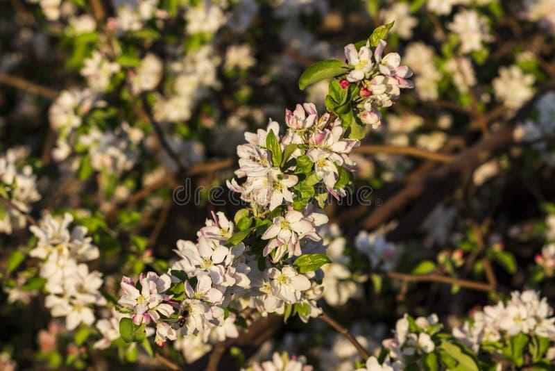 Foto de un manzano floreciente fotografía de archivo libre de regalías