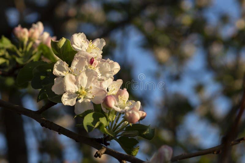 Foto de un manzano floreciente foto de archivo