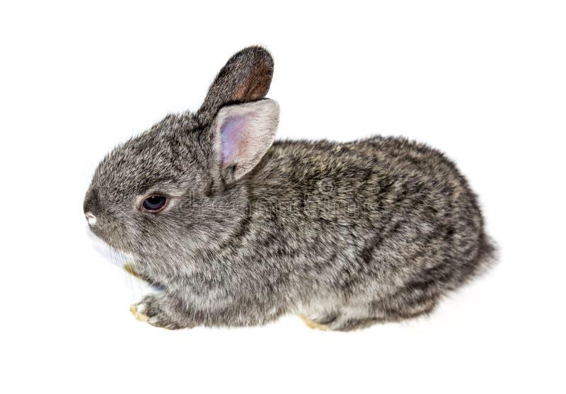 Foto de un peque?o conejo aislado en un fondo blanco imágenes de archivo libres de regalías