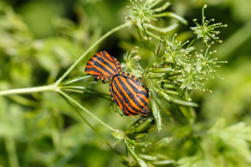 Foto de un primer del insecto Foto macra de un insecto del escudo en el bosque que el escarabajo se sienta en una hoja entre los  imagen de archivo