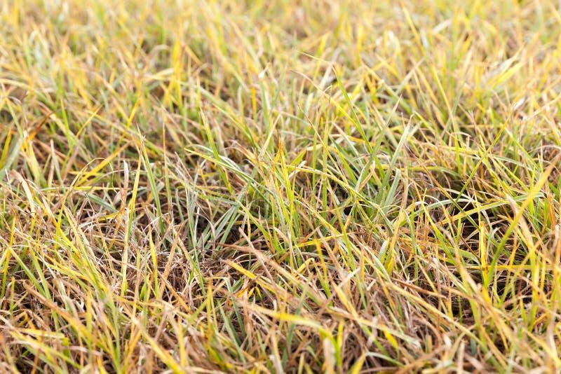 Foto de una hierba amarilla fotografía de archivo