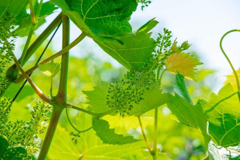 Foto de uvas novas no jardim Folhas e ramos das uvas no início do verão Crescimento da uva foto de stock