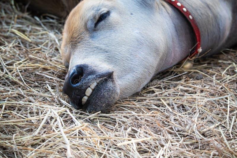 Foto dei denti del primo piano del bufalo di sonno fotografie stock